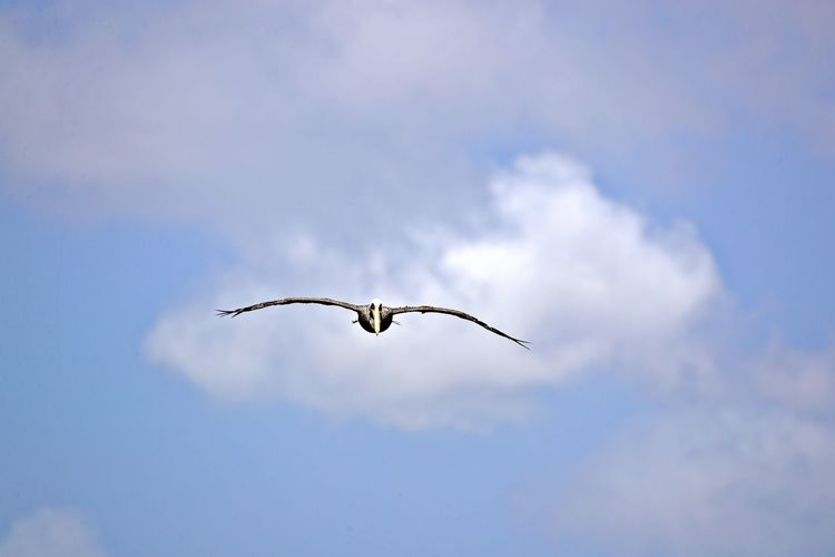 Flying Bird Animal Wildlife Animals In The Wild Animal Animal Themes Spread Wings Sky One Animal Mid-air Nature Motion Outdoors No People Cloud - Sky Low Angle View Pelican