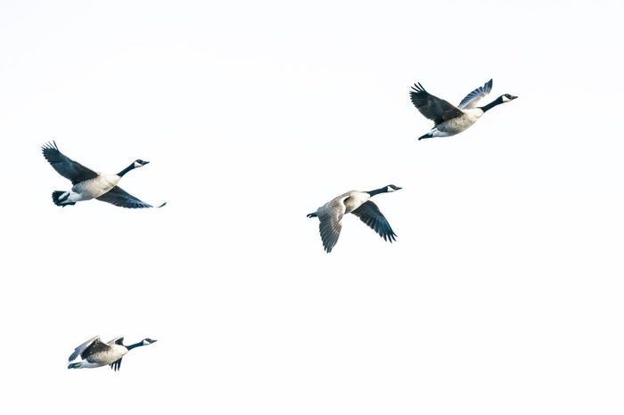 Tister Moor Animal Themes Animal Wildlife Animals In The Wild Beauty In Nature Bird Day Flying Goose Mid-air Motion Nature No People Outdoors Spread Wings Togetherness