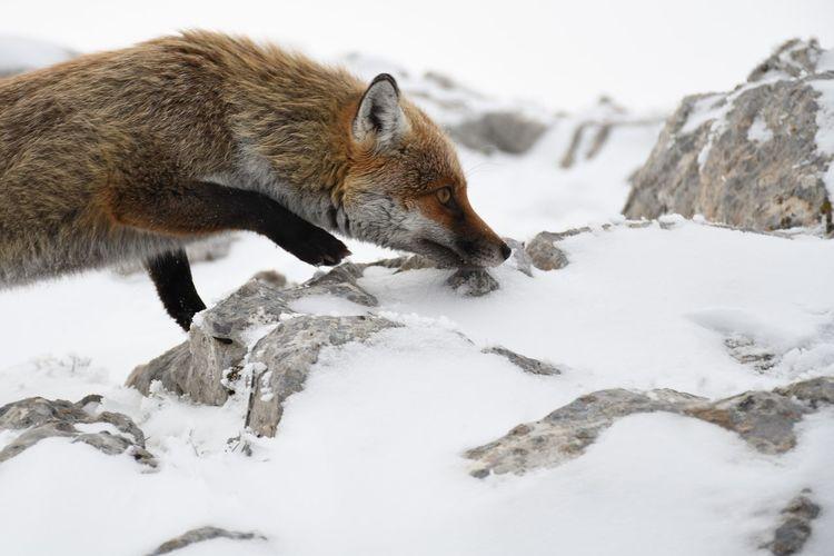 Fox on snowy rocks