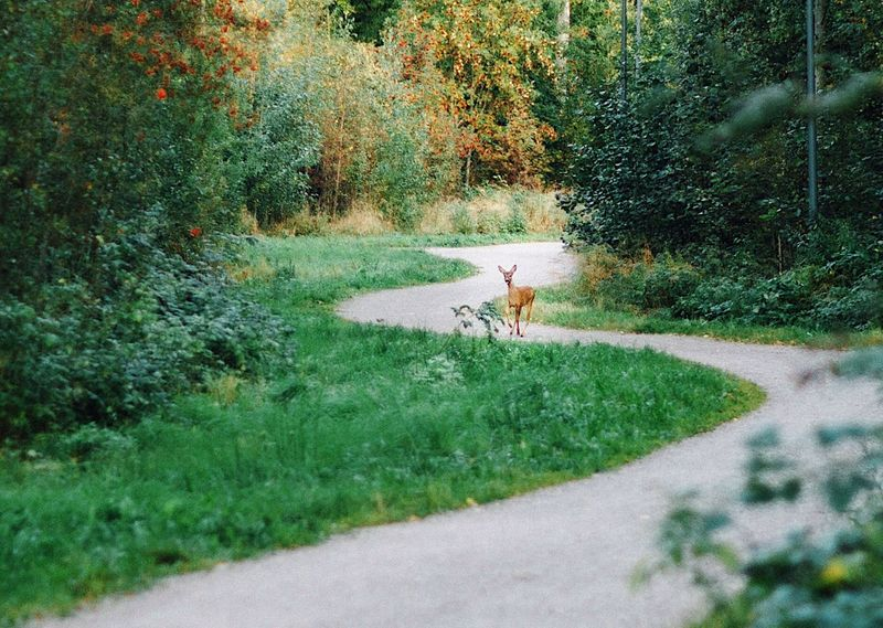 Oh Deer! Urban Nature Deer Nature Finland Espoo Green Evening Sun Grass One Animal Outdoors Evening Walk Urban Forest Animal Perspectives On Nature