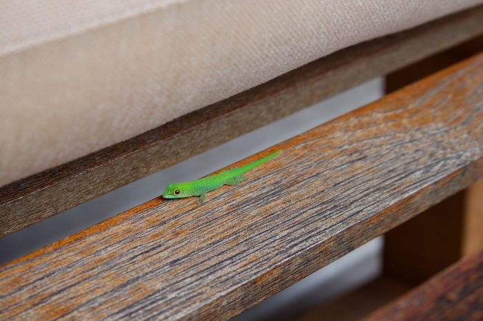 Green Lizard Lizard Animal Animal Themes Animal Wildlife Animals In The Wild Baby Lizard Close-up Day Focus On Foreground Green Color Insect Invertebrate Nature No People One Animal Outdoors Plank Railing Selective Focus Textured  Vertebrate Wood - Material