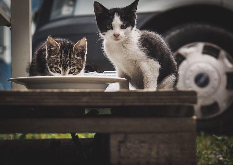 Portrait of kittens feeding on table against car