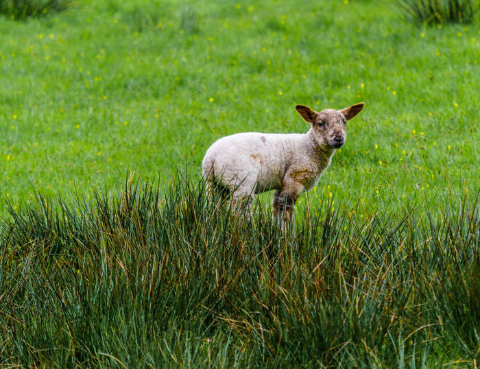 An image of a lamb alone in the tall grass Grass Lamb Ears Grassy Spring Tall - High Wht Wool