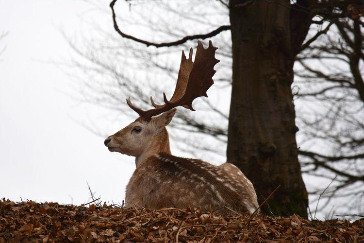 Deer on tree trunk