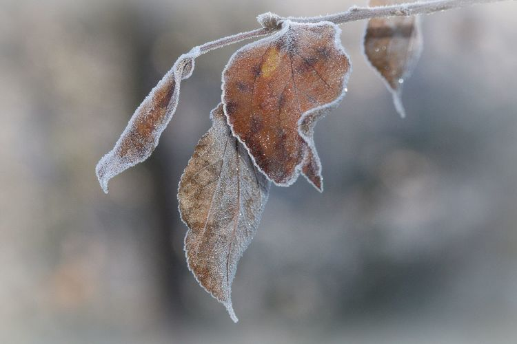 Winter Cold Temperature Close-up Focus On Foreground Ice Leaf Nature Vulnerability  Frost Beauty In Nature Leaves Frozen Fragility Frosty Frosty Mornings Cold Days Cold Winter ❄⛄ Nature Photography Naturelovers Beautiful Nature Lovely Scenics - Nature Bokeh EyeEm Nature Lover EyeEm Gallery