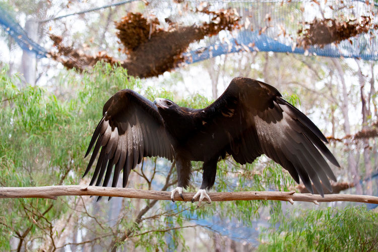 Animal Animal Wildlife Animal Themes Animals In The Wild One Animal Bird Vertebrate Spread Wings Tree Flying Day Plant No People Nature Full Length Bird Of Prey Branch Outdoors Focus On Foreground Eagle