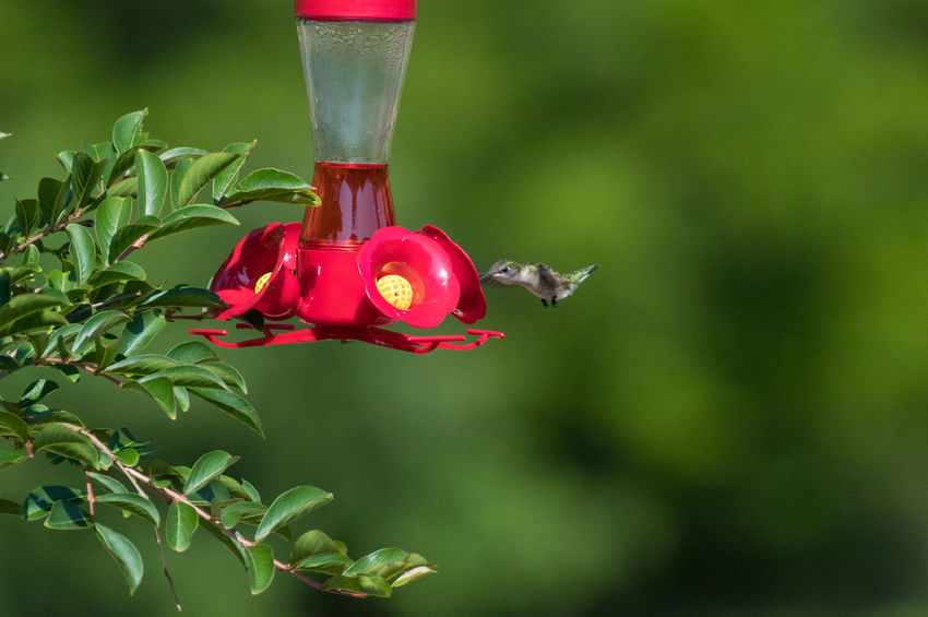 Hummingbird Beauty In Nature Close-up Day Flower Flower Head Flowering Plant Focus On Foreground Freshness Green Color Growth Hanging Hummingbird Leaf Nature No People Outdoors Petal Plant Plant Part Red Tree