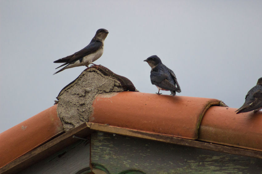 Animal Themes Animals In The Wild Avian Beak Bird Focus On Foreground Nature No People Perching Roof Sky Three Animals Two Animals Vertebrate Wildlife Zoology