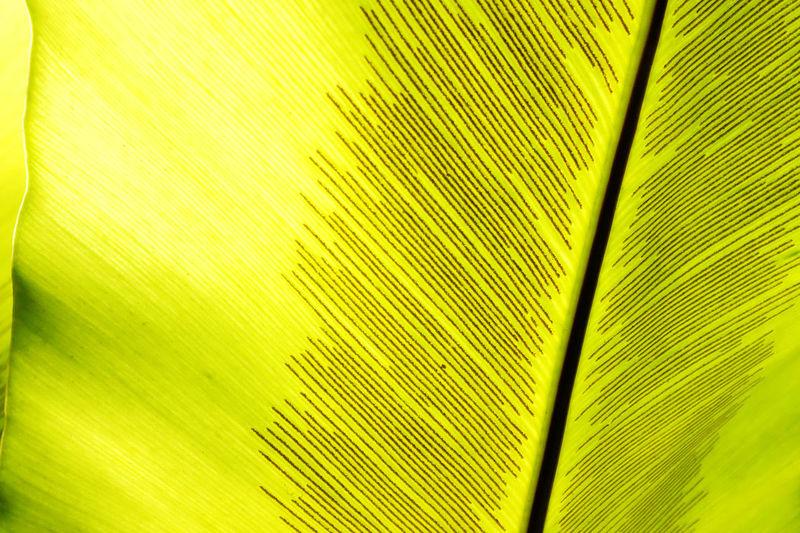 Governor's Leaf