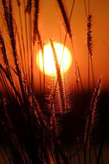 sunset Tree Sunset Rural Scene Backgrounds Gold Colored Sunlight Silhouette Sun Flower Summer