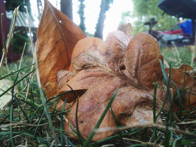 Autumn beauty EyeEm Nature Lover Creative Photography beauty in Nature Lea Cottage Grove, Oregon Macro Photography Beauty In Ordinary Things Beauty Is Everywhere  EyeEm Nature Lover Creative Photography Beauty In Nature Leaves🌿 Oak Leaf Cottonwood Leaf Close-up Grass