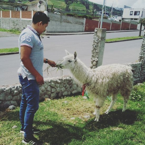 #llama #fauna #animales #sierra #ecuador #día #ecuador #animales #Nature  Livestock Agriculture Farm Farmer Domestic Animals Mammal Animal Themes One Animal One Person Animal Real People Day