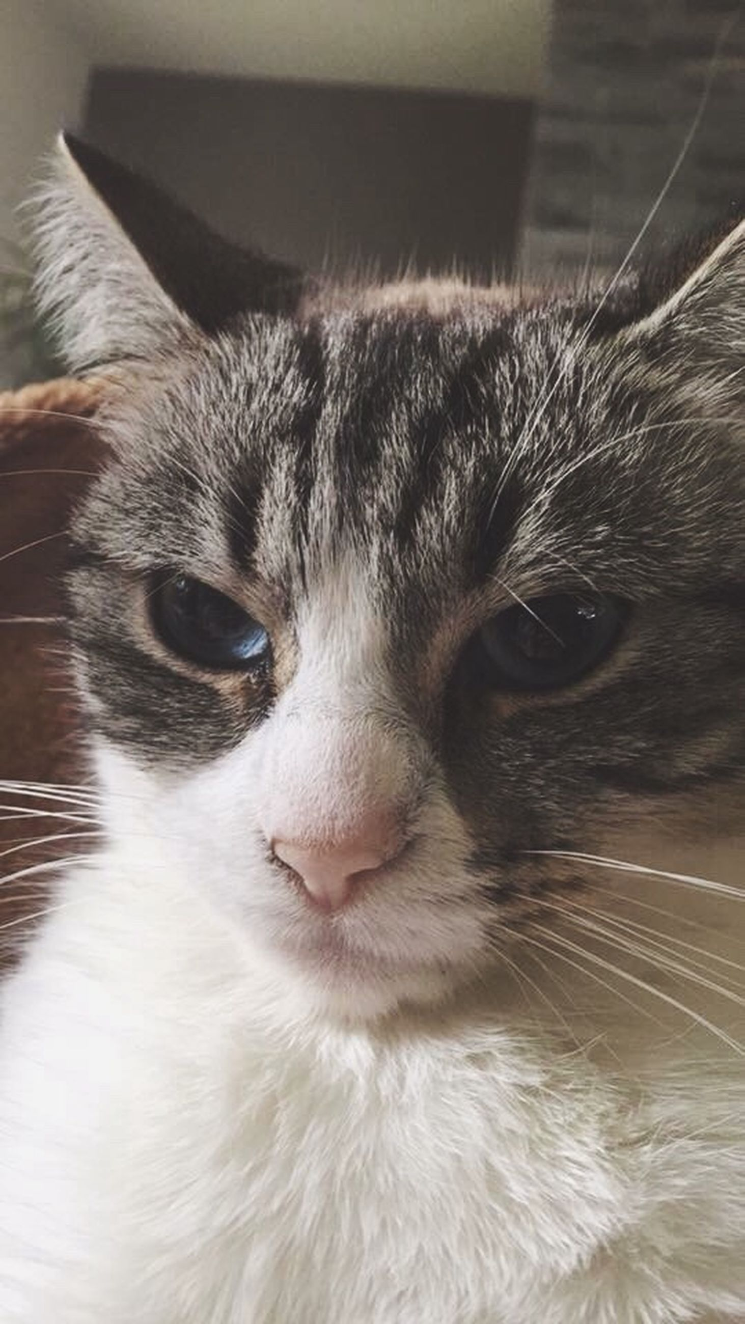 domestic animals, pets, one animal, animal themes, domestic cat, mammal, cat, whisker, feline, animal head, close-up, animal body part, indoors, looking at camera, portrait, animal eye, focus on foreground, snout, part of