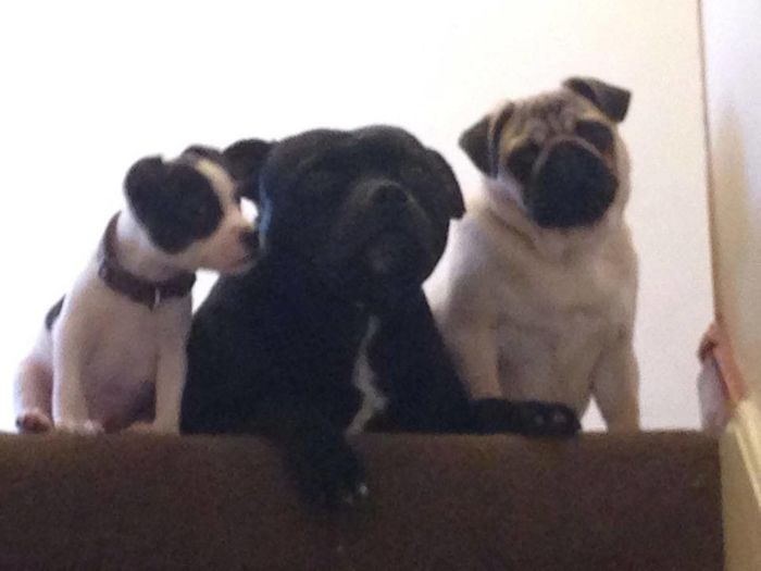 The 3 amigos, gibbs, paddy, boris.. Staffordshire Bull Terrier Staffies There Softer Than You Think I Love My Dog Pugs
