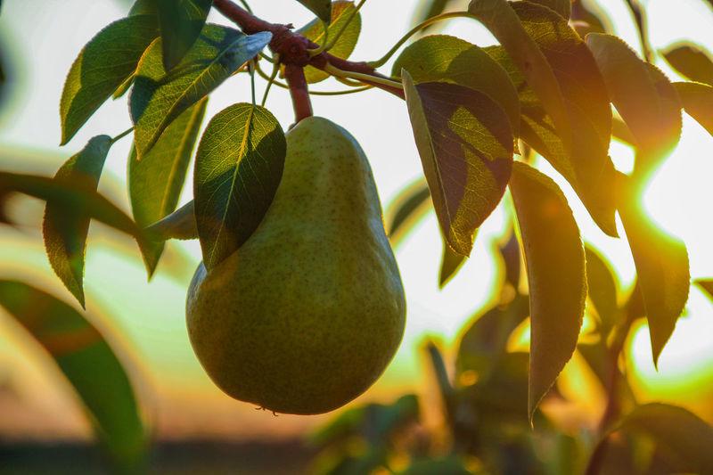 Ripe Ripe Fruit Ripe Pears Hanging Fruit Allgäu Pear Sunset Williams Pear Tree Fruit Hanging Leaf Close-up Sky Green Color Food And Drink