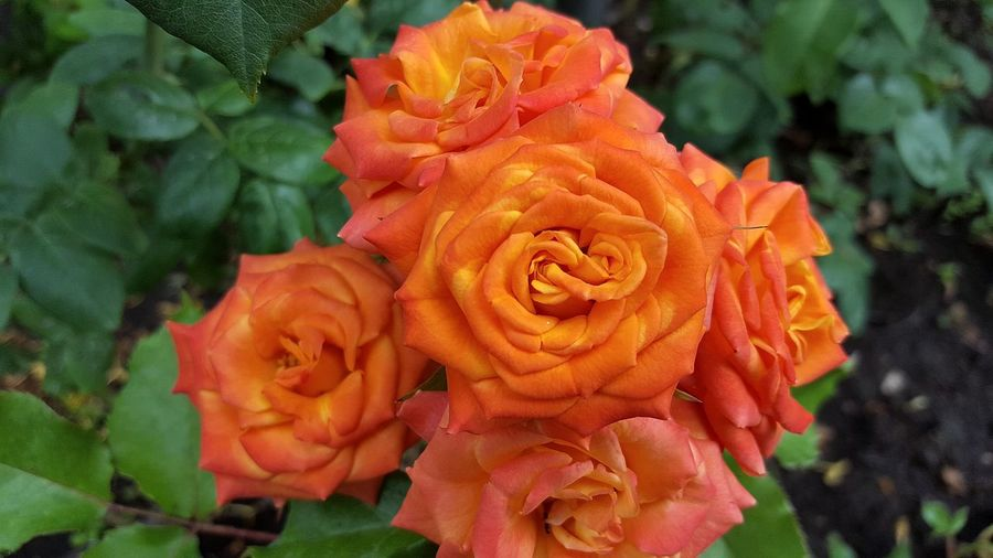 Flower Rose - Flower No People