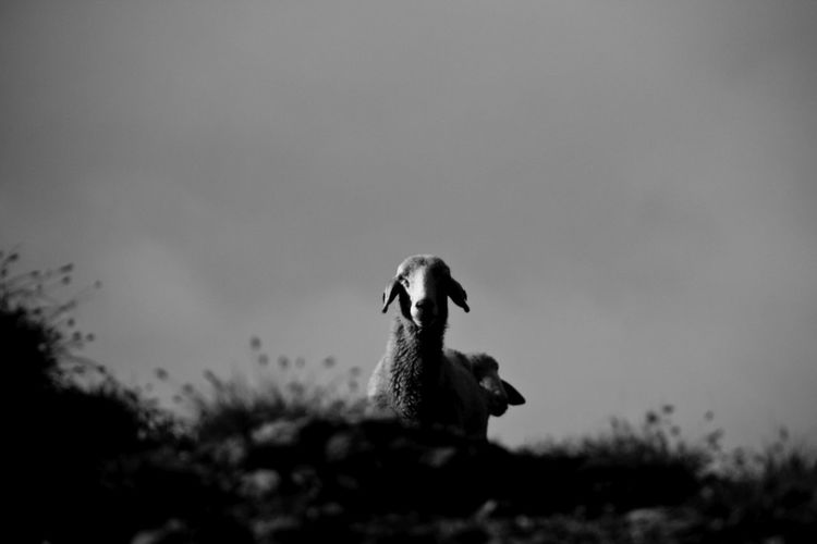 Low Angle View Of Sheep Against Sky
