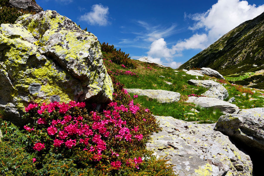 Day Flowers Landsape Landscape Landscape_Collection Nature Outdoors Retezat Rhodendron Romania Summer Summertime Travel