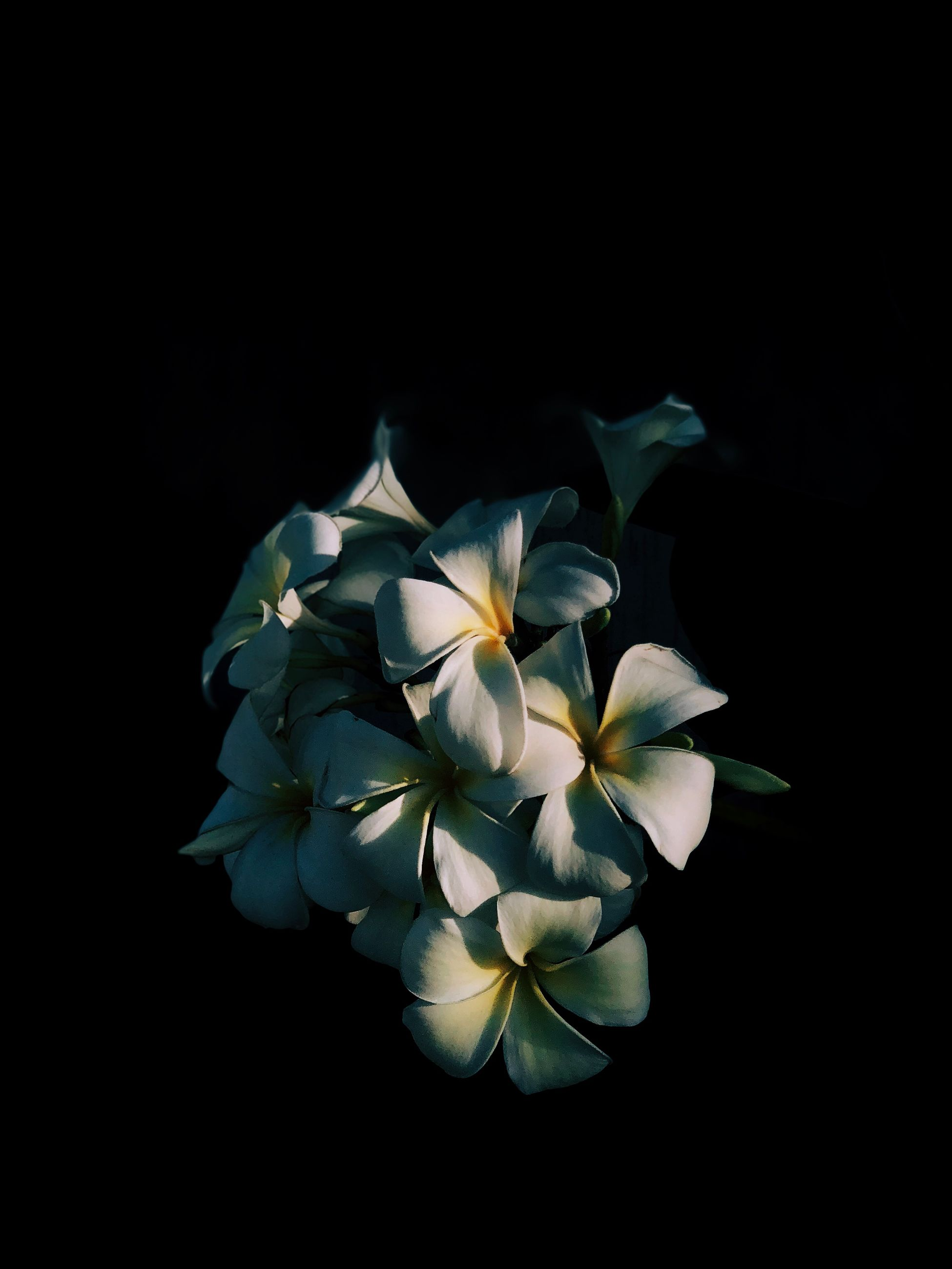 flower, flowering plant, petal, vulnerability, fragility, studio shot, freshness, black background, beauty in nature, flower head, plant, close-up, inflorescence, indoors, nature, no people, white color, copy space, growth, night