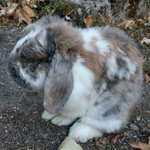 Mon lapin en tenue de camouflage ! Pets Animal Themes Rabbit Rabbit In The Garden Rabbit In Camouflage My Old Cute Rabbit Camouflage Camouflage Animals Old Pets Cute Pets Cute Rabbit Pet Portraits