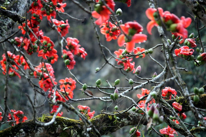 Cotton tree Blossom Blossom Tree Blossoming Tree Cotton Tree Flowers Nature Nepal Red Blossom Season  Tree Fine Art Photography