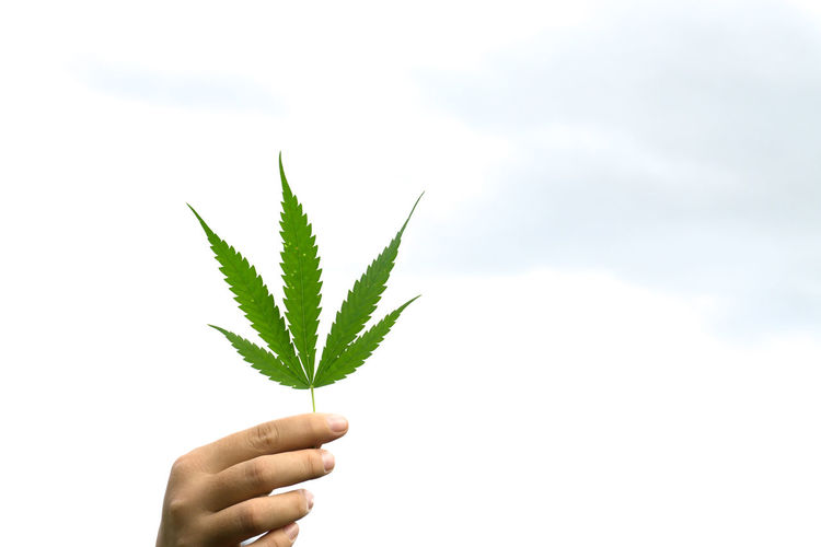 Addiction Beauty In Nature Cannabis Plant Close-up Day Fragility Freshness Green Color Growth Holding Human Body Part Human Finger Human Hand Leaf Marijuana - Herbal Cannabis Nature One Person Outdoors People Personal Perspective Plant Real People White Background
