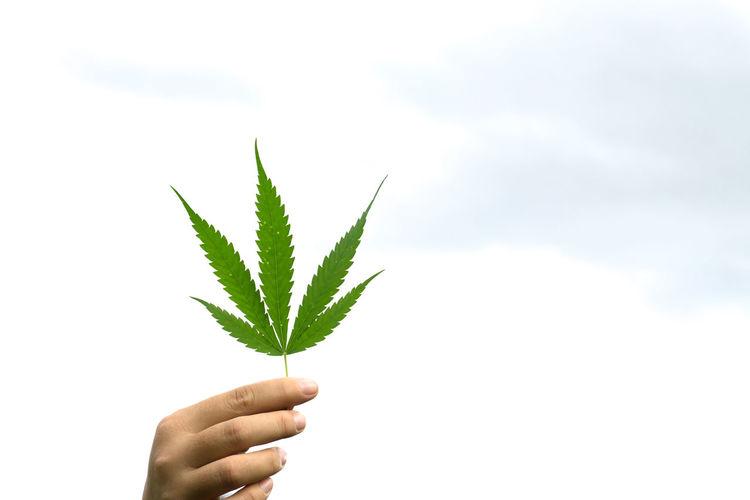 Close-Up Of Hand Holding Marijuana Against White Background