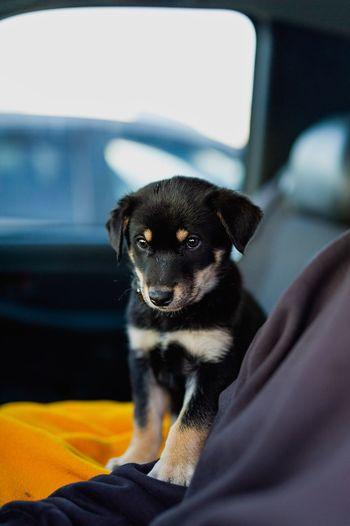 Little bandit Dog Love Dog Puppy Face Puppy Love Puppy Domestic Mammal Vertebrate Looking At Camera Portrait Motor Vehicle Car No People Vehicle Interior Sitting Indoors  Looking