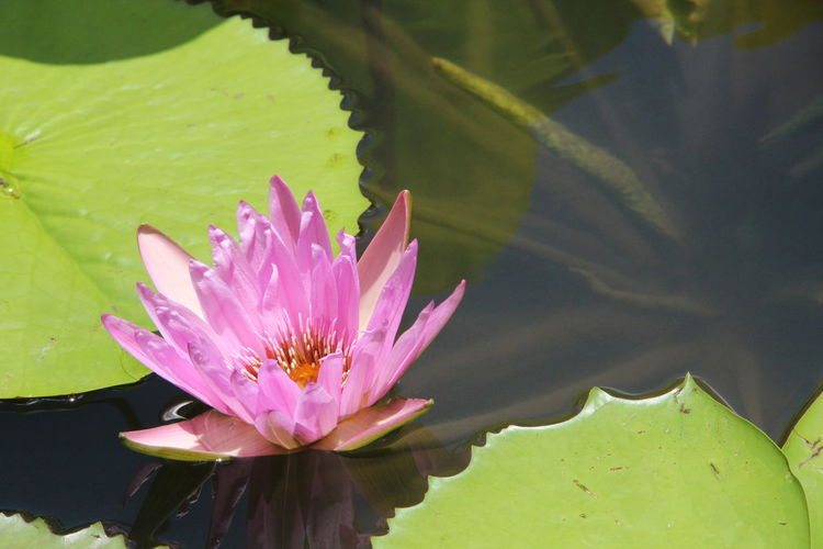 No Filter, No Edit, Just Photography Point Of View Special View Another Point Of View Focus On Foreground Macro Macro Photography Pink Flower Violet EyeEm Nature Lover EyeEm Best Shots EyeEm Selects Flower Head Flower Water Lotus Water Lily Leaf Water Lily Pink Color Petal Multi Colored Floating On Water Water Plant Blossom Lily Pad Botany Flowering Plant Lily In Bloom Focus