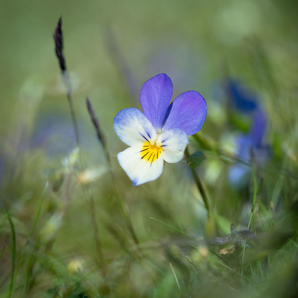 Viola Heartsease Beauty In Nature Blooming Close-up Flower Flower Head Focus On Foreground Fragility Growth In Bloom Macro Photography Nature Petal Plant Purple Selective Focus Single Flower Summertime Viola Viola Tricolor Wildflowers Yellow Flower Photography Macro