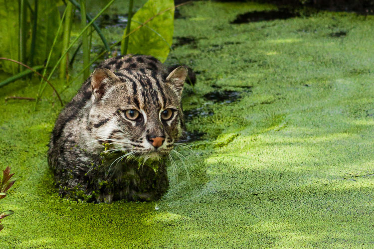 Wild cat in algae covered pond at forest