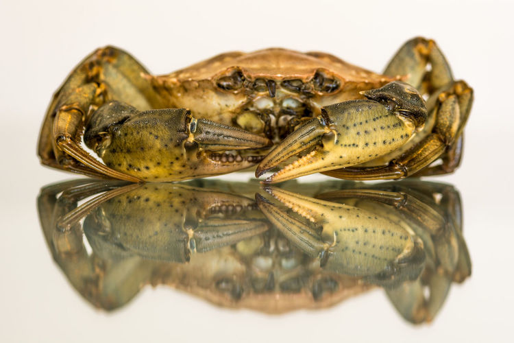 Close-up of crab with reflection against white background