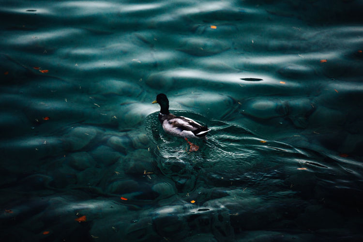 Water Swimming Animal Wildlife Animal Themes One Animal Animal Animals In The Wild Sea Vertebrate Nature Day Rippled Outdoors Duck Swimming Clean Clear Water Artistic Minimalism Wallpaper Nature Lake Beauty In Nature darkness and light Shadow