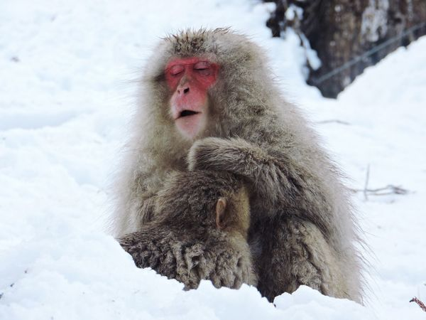 Winter Cold Temperature Snow Weather Japanese Macaque Animal Themes Animals In The Wild Outdoors Mammal Nature Frozen No People One Animal Day Monkey Japan Snowmonkeys Snow ❄ Jigokudani-Snow-Monkey-Park Jigokudani Monkey Park Hellvalley Snowcountry Hotbath  Millennial Pink