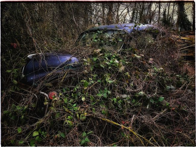 Is this what they mean by an off road parking space? Beauty Of Decay Rusting Metal Rusting Car Morris Minor Overgrown Overgrown And Beautiful Abandoned Abandoned Car Brambles Undergrowth BYOPaper!