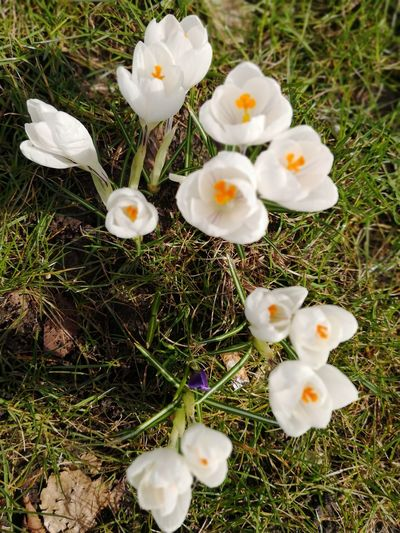 White crocuses in spring White Crocuses Spring Spring Is Coming  Flower Flower Head Field High Angle View Close-up Grass Crocus Stamen Uncultivated Wildflower Blossom In Bloom