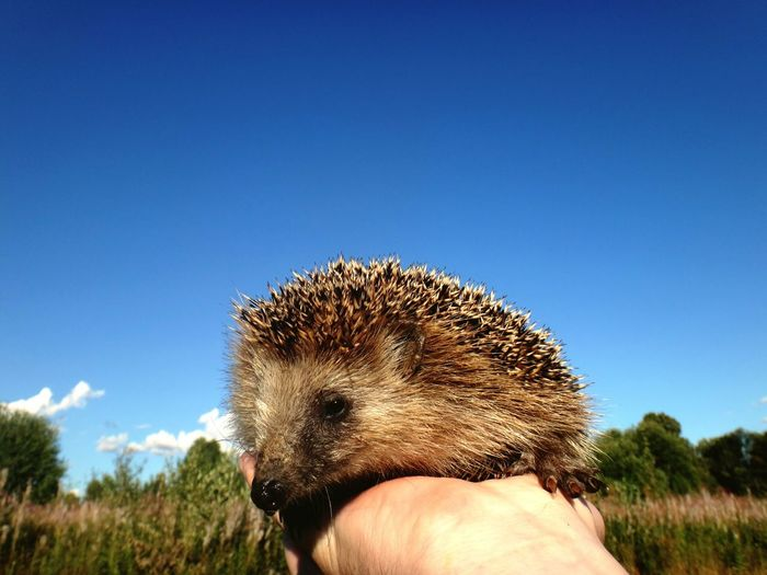 Close-Up Of Hedgehog On Person Hand