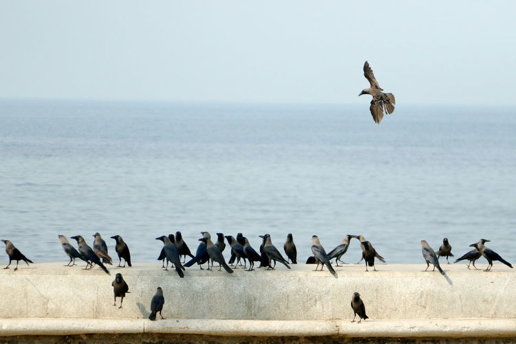 Crows flying over sea against clear sky