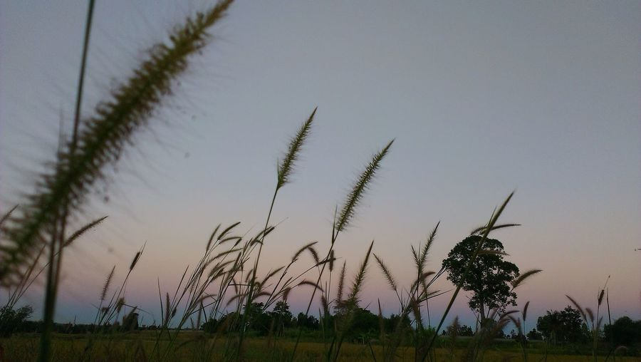 Close-up of grass on field against sky during sunset