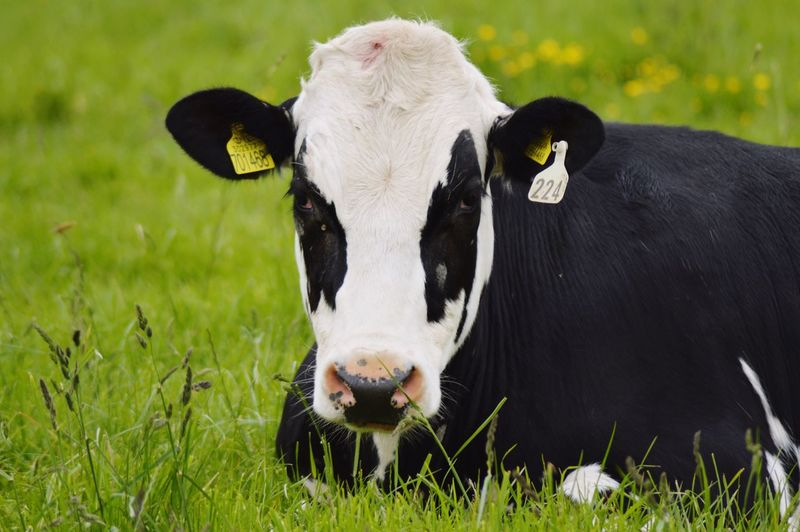 Close-up of cow sitting on grassy field