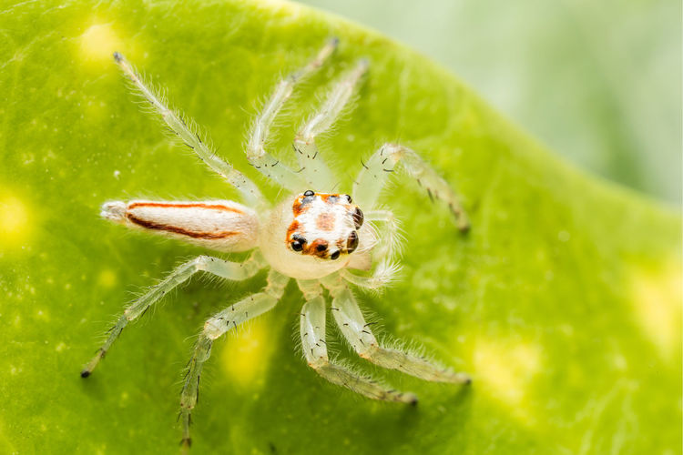 The Beauty of Jumping spider Animal Animal Eye Animal Leg Animal Themes Animal Wildlife Animals In The Wild Arachnid Arthropod Close-up Day Green Color Insect Invertebrate Jumping Spider Leaf Macro Nature No People One Animal Outdoors Plant Plant Part Selective Focus Spider EyeEmNewHere