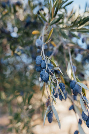 Agriculture Drought Drought And Floods Mediterranean  Mediterranean Food Olive Olive Tree Portugal Agricultural Land Agriculture Photography Alentejo Beauty In Nature Day Food Fruit Growth Hanging Nature Olive Oil Olive Trees Olives Plant Tree