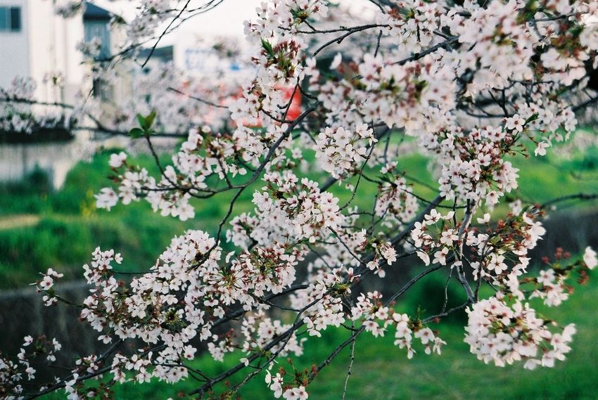 Pentax SpII Fujicolor Industrial 100 Sakura Flower Tree Flower Head Springtime Blossom Close-up Plant Blooming Architecture Cherry Tree Cherry Blossom Flower Tree