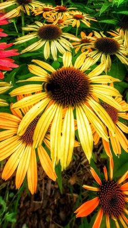 Flower Fragility Petal Growth Flower Head Freshness Beauty In Nature Nature Plant Pollen Blooming Outdoors Day No People Coneflower Close-up Eastern Purple Coneflower Black-eyed Susan