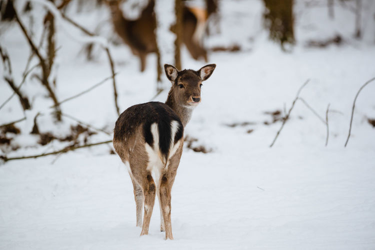 Fallow deer in winter forest Fallow Deer Female Deer Dama Dama Snow Animal Winter Animal Themes Mammal Forest Animals In The Wild One Animal No People Animal Wildlife Nature Tree Tree Trunk