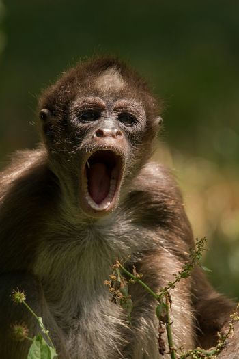 Portrait of monkey yawning in forest