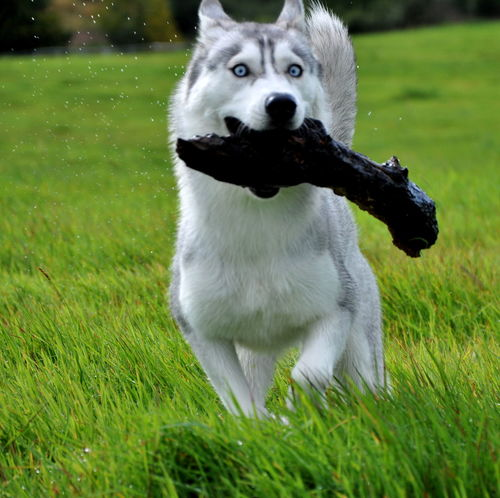 Alaskan BlueEyes Running Animal Themes Blue Close-up Day Dog Domestic Animals Eyes Field Grass Green Color Husky Mammal Nature No People One Animal Outdoors Pets Playing Siberian Syberianhuskey