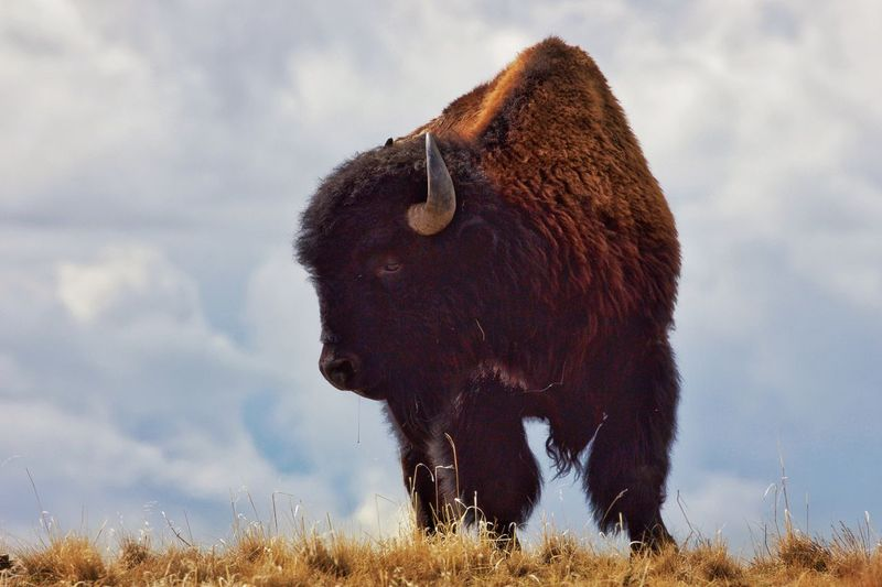 One Animal Mammal Sky Animal Themes Cloud - Sky Grass Field Nature Domestic Animals Outdoors Livestock No People Highland Cattle Landscape Day Beauty In Nature Bison American Bison Antelopeisland