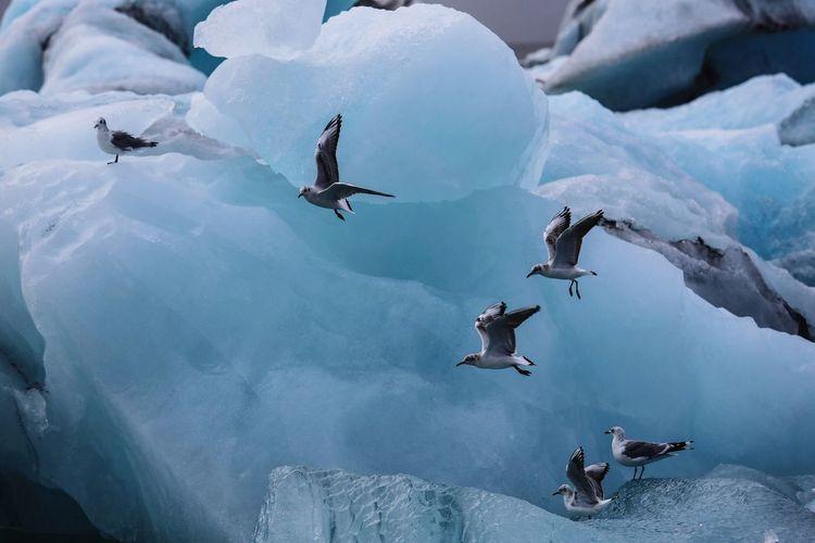 Seagulls flying by glacier