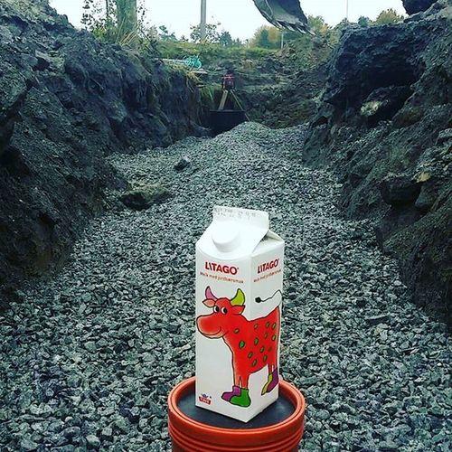 Litago er med på en skikkelig grøftefyll. Litago Tine Melk Jordbær ku norgetrengerbonden grøft anlegg grus milk måbarehadet party cow